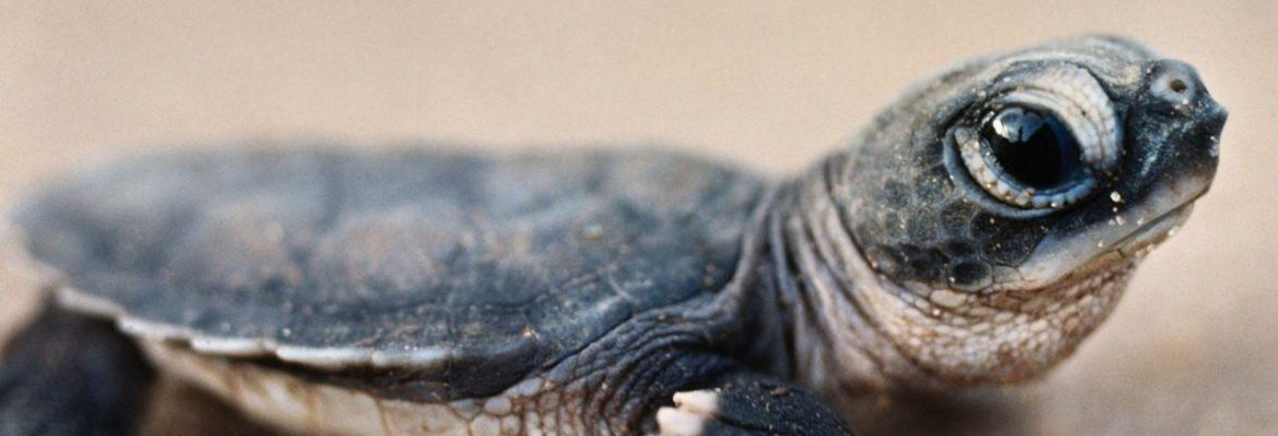 American Snapping Turtle - All Turtles
